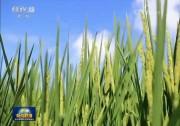 [视频]【在习近平新时代中国特色社会主义思想指引下——新时代 新作为 新篇章】优化结构 推进粮食生产绿色