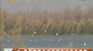青铜峡库区迎来候鸟迁徙高峰期-2017年11月28日