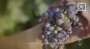宁夏贺兰山东麓酿酒葡萄带