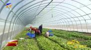 (壮丽70年 奋进新时代·宁港携手促发展)宁夏:供港蔬菜种植忙 绿色有机创品牌-190417