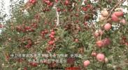 57万亩苹果大丰收