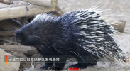 六盘山自然保护区发现豪猪