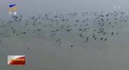 美爆了!沙湖湿地百余只天鹅在这里翩跹起舞!-200316