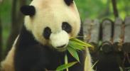 语文| 习作《国宝大熊猫》