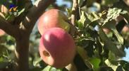 中卫34.5万亩苹果陆续上市