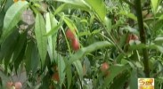 我区设施桃树早熟品种选育取得实质性进展-2017年5月6日