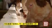 村庄里通了自来水,牛:终于美美喝饱一次!