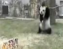 笑破肚皮!熊猫树上摔下恼羞成怒摔树枝