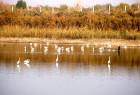 黄河湿地成为鸟类越冬栖息地