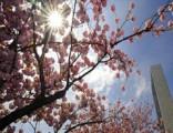樱花掩映联合国