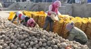 西吉农民傍着土豆致富