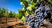 葡萄产业缺乏统一标准 建议全力引领产业标准建设