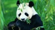 备受日本观众喜爱,日本希望再租借大熊猫