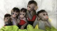 """""""一""""生""""五""""!来看克隆猴的超级变身""""秘密"""""""