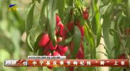 """中宁县反季节枸杞抢""""鲜""""上市"""