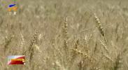宁夏灌区春小麦示范种植亩产量再创新高