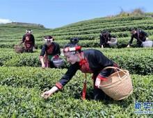 福建福鼎:春茶飘香
