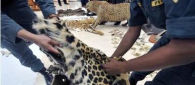 凌晨出擊!海關現場查扣超20噸國家保護野生動物走私制品