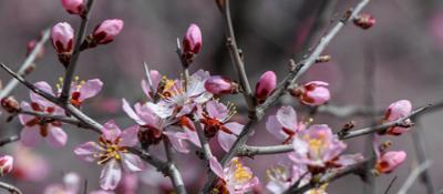 贺兰山国家珍稀植物蒙古扁桃开花啦