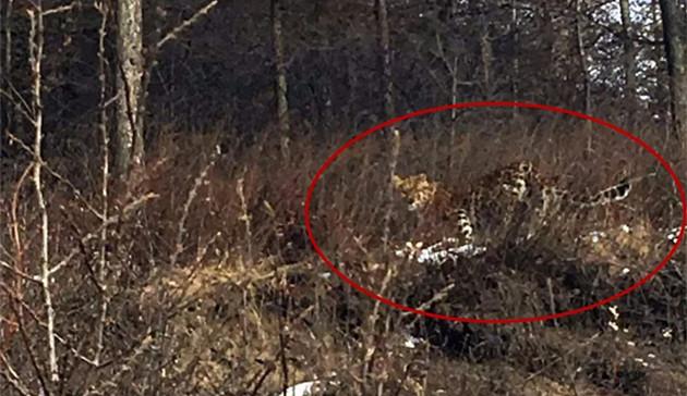 六盘山林区惊现两只金钱豹 疑成年母豹带幼崽觅食