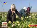 红寺堡区:优质萝卜走出国门-11月24日