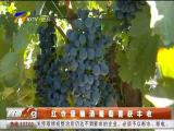 红寺堡酿酒葡萄喜获丰收-181012