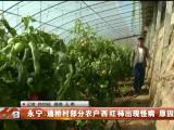 永宁:通桥村部分农户西红柿出现怪病 原因存疑-191018