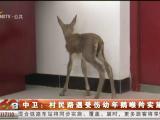中卫:村民路遇受伤幼年鹅喉羚实施救助-200618