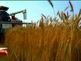 风吹麦浪好景致 彭阳小麦收割忙-200706