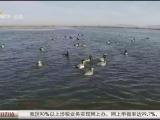 """白天鹅""""领舞""""青铜峡库区湿地 演绎和谐生态图景-20210301"""