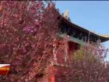 彭阳县的樱花静悄悄地开-20210422