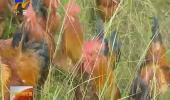 (奋斗新时代)与野生动物共舞的养鸡达人-181104