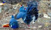 贺兰山深处蓝马鸡成群活动-20201021