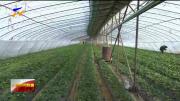 沙坡头区:草莓棚里春意浓 休闲采摘乐融融-20210215