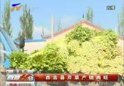 西吉芹菜产销两旺-2017年8月7日
