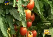 宁夏:小番茄结出大产业-2017年8月6日