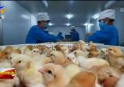 爱国情 奋斗者 | 魏晓明:打造中国蛋鸡生物安全第一品牌-190403