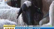 """杜泊羊与滩羊""""嫁接""""新科技成为羔羊繁育""""加速器""""-2017年8月7日"""