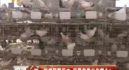 种鸽频繁死亡 问题究竟出在哪儿?