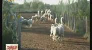宁夏盐池:现代羊倌冯欢-2017年10月10日