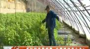 西红柿苗带病毒 大棚绝收怎么办-2017年11月30日