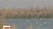 """青铜峡库区湿地保护区成为""""候鸟天堂""""-2017年11月29日"""