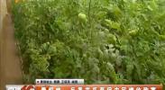 青铜峡:反季节瓜菜促农民增收致富-2017年1月8日