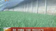 """灵武:沙地掘金""""小韭菜""""种出亿元大产业-2018年1月7日"""