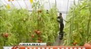 菜农冬季种菜忙 本地菜供应稳定-2018年1月30日