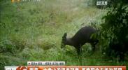 固原:六盘山发现毛冠鹿 系我国北方首次发现-2018年3月3日