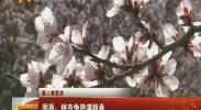 (塞上春意浓)固原:桃杏争艳满眼春-2018年3月29日