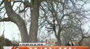 平罗黄渠桥代家百年桑树泽被后人-2018年4月3日