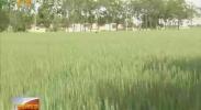 石嘴山:匀播技术促进小麦种植节本增效-2018年6月10日