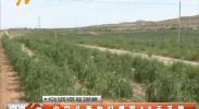 中宁头茬枸杞提前10天采摘-2018年6月11日